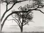 ETH-BIB-Vögel auf Baum in der Serengeti-Kilimanjaroflug 1929-30-LBS MH02-07-0380.tif