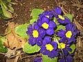 Early primroses.jpg