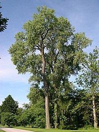 American black poplar