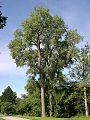 Eastern Cottonwood (Populus deltoides) - Flickr - Jay Sturner (2).jpg