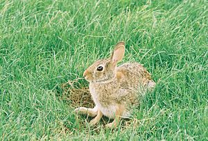Eastern cottontail - In nest, under production