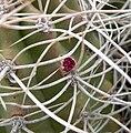 Echinocereus triglochidiatus 2.jpg