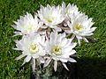 Echinopsis ancistrophora.JPG