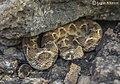 Echis carinatus3.jpg