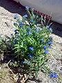 Echium vulgare 03.jpg