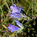 Echium vulgare ENBLA02.jpg