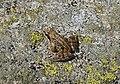 Echter Frosch (Ranidae), Nationalpark Hohe Tauern, Kärnten.jpg
