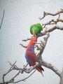 Eclectus Parrot.JPG