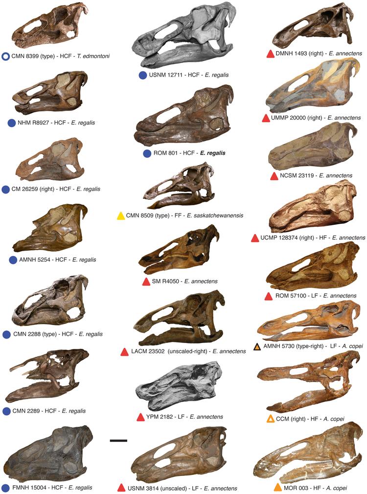 Edmontosaurus skulls.png