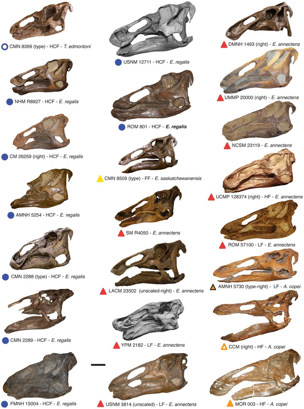 Edmontosaurus skulls