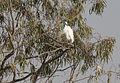 Egretta garzetta - Little egret - Küçük akbalıkçıl 02.jpg