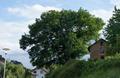 Eiche am Bahnhof Muemling-Grumbach Naturdenkmal Hessen Odenwaldkreis.png