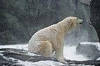 Eisbär (Ursus maritimus).jpg