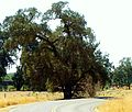 Election Tree Tulare County.jpg