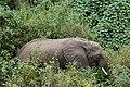 Elephant, Lake Manyara National Park (6) (28504575511).jpg