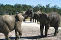 Elephant Fight (6649537543).jpg