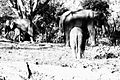 Elephants, Dubare Elephant Camp.jpg