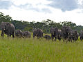 Elephants (Loxodonta africana) females and youngs (13983790364).jpg