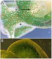 Elysia-chlorotica-detail.jpg