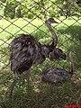 Ema (Rhea americana) é a maior e mais pesada ave do continente americano. Um macho adulto pode atingir 1,70 m de comprimento e pesar até 36 kg. A envergadura chega a atingir até 1,50 m de comprimen - panoramio.jpg