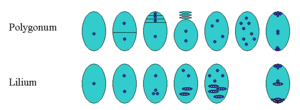 Ovule - Megagametophyte formation of the genera Polygonum and Lilium. Triploid nuclei are shown as ellipses with three white dots. The first three columns show the meiosis of the megaspore, followed by 1-2 mitoses.