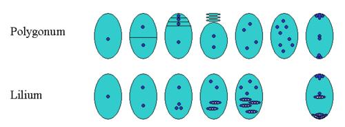 monosporic embryo sac development