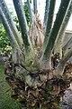 Encephalartos laurentianus-Jardin botanique Meise (4).jpg