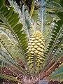 Encephalartos manikensis KirstenboshBotGard09292010F.JPG
