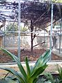 Endangered Drill monkeys at Driving ranch, calabar,Nigeria 03.jpg