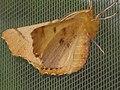 Ennomos autumnaria - Large thorn - Пяленица угловатая осенняя (40031206105).jpg