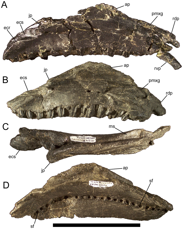 Eolambia maxillae