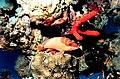 Epinephelus fasciatus by NOAA.jpg