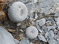 Epithelantha greggii (5661666179).jpg