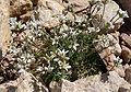 Eremogone congesta var charlestonensis 6.jpg