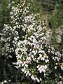 Erica arborea2.jpg