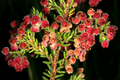Erica haematocodon 1DS-II 3-5184.png