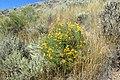 Ericameria nauseosa kz08.jpg