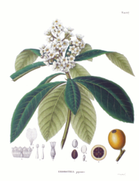 Eriobotrya japonica SZ97