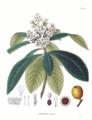 Eriobotrya japonica SZ97.png