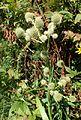 Eryngium yuccifolium kz2.jpg