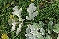 Erysiphe heraclei on Hogweed Heracleum sphondylium (30116568647).jpg