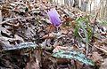 Erythronium dens-canis in national natural monument Mednik (03).jpg
