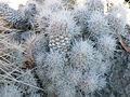 Escobaria albicolumnaria? (5730715466).jpg