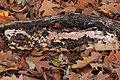 Etheirodon fimbriatum 57233058.jpg