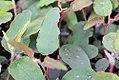 Eucalyptus citriodorous 0zz.jpg