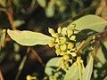 Eucalyptus microtheca buds.jpg