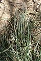Euphorbia antisyphilitica kz2.jpg