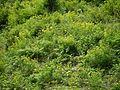 Euphorbia cornigera (7789182038).jpg