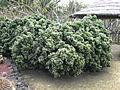 Euphorbia cristata - Parc Exotica-1.JPG