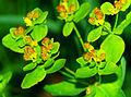 Euphorbia epithymoides - fruits.jpg